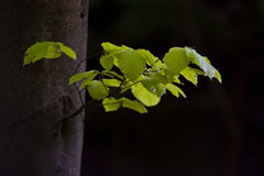 Beech tree Stock Image