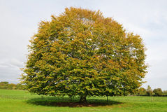 Beech Tree in Autumn Royalty Free Stock Images