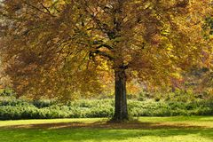 Beech tree in autumn. Colorful autumn leaves on beech tree in countryside Royalty Free Stock Photography