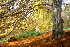 Beech tree in autumn Stock Photography