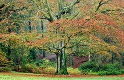 Beech Tree In Autumn. Big beech tree in fall scene Royalty Free Stock Photography