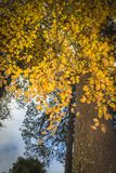 Beech tree in autumn in the Cairngorms of Scotland. Stock Photo