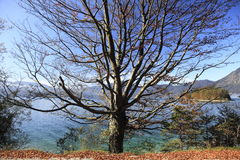 Beech tree in autumn Stock Photo