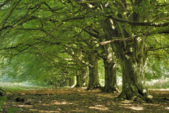 Beech tree avenue Royalty Free Stock Image