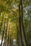 Beech tree avenue. Gloucestershire, England stock photos