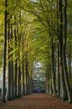 Beech tree avenue. Gloucestershire, England stock photo