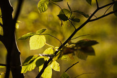 Beech tree in backlit Stock Images