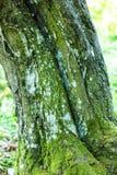 Beech tree bark Stock Photos