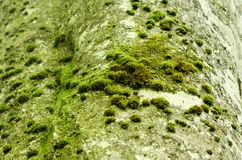 Beech tree bark with moss and textured pattern. In the woods of Transylvania, Romania Stock Image