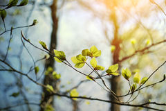 Beech tree blooming Royalty Free Stock Image