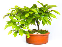 Beech tree bonsai Royalty Free Stock Image