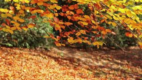 Beech tree branch with golden colored autumn leaves. Gently moving in the breeze stock video