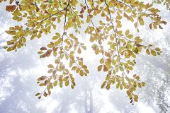 Beech tree branch Royalty Free Stock Images