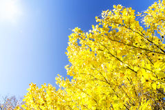 Beech tree branches with yellow dried leaves Royalty Free Stock Photo