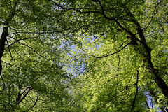 Under the beech tree canopy in spring. The lush green foliage of beech trees sparkle at a sunny day in spring and invites to lie down and dream. Low-angle shot Stock Photography