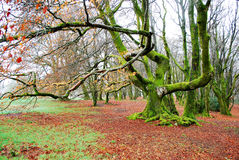 Beech tree covered with moss Ancient beech forest Royalty Free Stock Photography