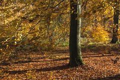 Beech tree in autumn. Beech tree or fagus sylvatica with an autumnal dress royalty free stock images