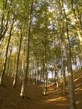 Beech tree forest Stock Image