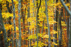 Beech tree forest Royalty Free Stock Photo