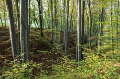 Beech tree forest Stock Photos