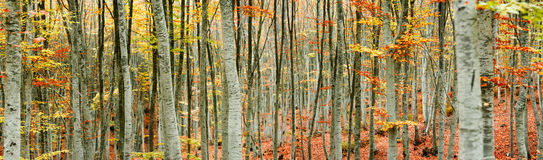 Beech tree forest panorama. A panoramic view from a beech tree forest during autumn Stock Photography