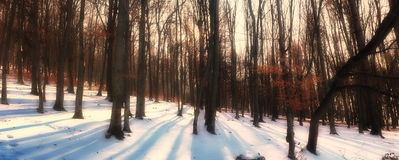 Beech tree forest panorama Royalty Free Stock Photos