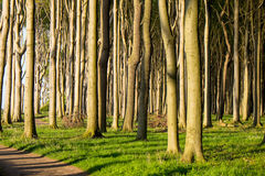 Beech tree forest with sunshine Royalty Free Stock Images