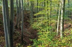 Beech tree forest walley Royalty Free Stock Photos