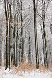 Beech tree forest in Winter Stock Photos