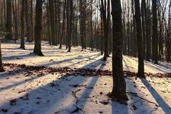 Beech tree forest in winter Royalty Free Stock Image