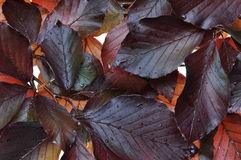Beech tree fresh leaves Stock Photography
