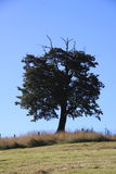 Beech tree on a hill. Black beech tree standing alone on a hill with dry grass and blue sky royalty free stock images