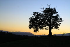 Beech tree on a hill at sunset. Black beech tree standing alone on a hill at sunset with mountains in background royalty free stock images