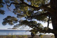 Beech tree on lake Te Anau, South Island, New Zealand Stock Image