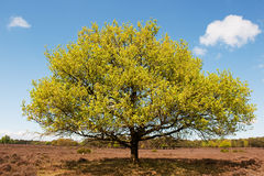 Beech tree in landscape Stock Images