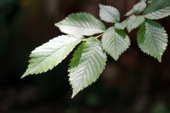 Beech tree leaves Royalty Free Stock Photography