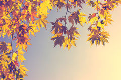 Beech Tree Leaves Royalty Free Stock Images