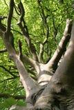 Beech Tree Leaves in Sunlight Stock Image