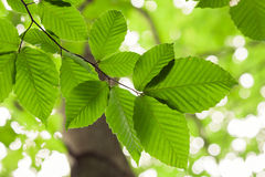 Beech Tree Royalty Free Stock Photography