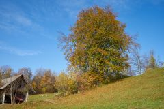 Beech tree on a meadow Royalty Free Stock Photo