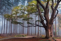 beech tree in misty forest during autumn Stock Image