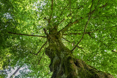 Beech Tree. Old European beech tree overgrown with moss Royalty Free Stock Photos