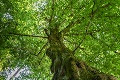 Beech Tree Royalty Free Stock Photos