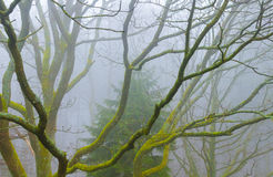 A beech tree in rainy haze. A dreamy calm nature scene in the forest short time after rain Royalty Free Stock Images