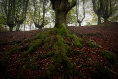 Beech tree roots in Gorbea natural park, Bizkaia. Beech tree roots in Gorbea natural park royalty free stock photos