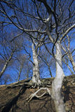 Beech tree and roots Royalty Free Stock Images