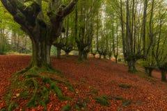 Beech tree roots in Otzarreta, Gorbea park. Beech tree roots in Otzarreta, Gorbea natural park royalty free stock images