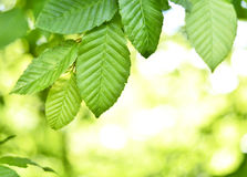 Beech tree with selective focus Stock Photography