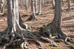 Beech tree stem with huge roots Stock Image