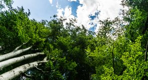Beech tree tops in forest. Green beech tree tops in forest stock photo